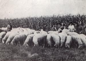 Il gregge dei fratelli Barbù - Anno 1945
